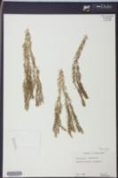 Image of Huperzia tenuicaulis