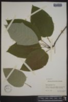 Nyssa uniflora image