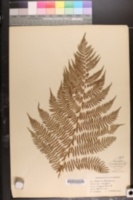 Image of Athyrium filix-femina