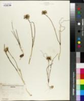 Image of Allium madidum