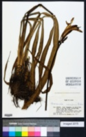 Image of Hemerocallis aurantiaca