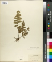 Image of Asplenium cultrifolium
