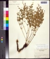Image of Euphorbia exserta
