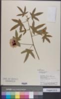 Image of Gossypium arboreum