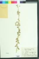 Image of Hibiscus micranthus