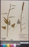 Image of Phyteuma spicatum