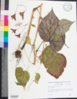 Image of Begonia grandis