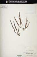Image of Lepisorus heterolepis