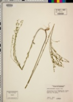 Linum floridanum image