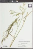 Apera spica-venti image