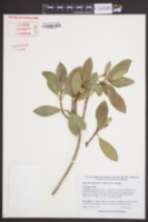Image of Magnolia lotungensis