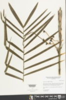 Chamaedorea seifrizii image