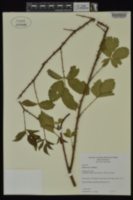 Image of Rubus ictus