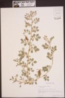 Indigofera spicata image