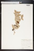 Image of Eucalyptus gillii