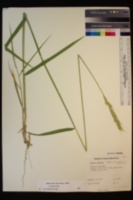 Elymus glaucus subsp. glaucus image