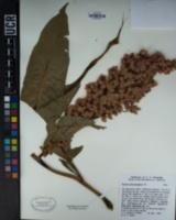 Rumex hymenosepalus image