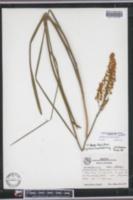 Image of Stenanthium macrum