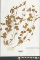 Torenia asiatica image