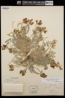 Astragalus tephrodes image