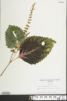 Image of Plectranthus scutellarioides
