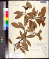 Image of Persea humilis