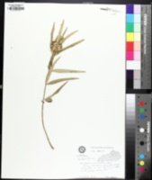 Asclepias viridiflora image