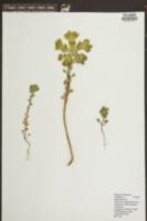 Euphorbia epithymoides image