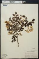 Robinia fertilis image