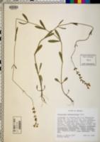 Image of Physostegia veroniciformis