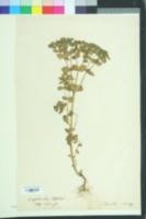 Euphorbia peplus image