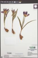 Image of Tulipa humilis