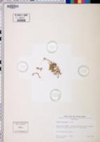 Elatine chilensis image