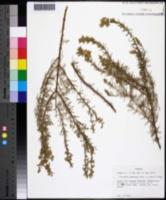 Image of Conradina canescens