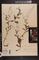Myosotis laxa subsp. laxa image