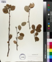 Image of Amelanchier vestita