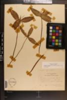 Trillium lancifolium image
