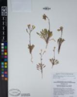 Chylismia claviformis subsp. aurantiaca image