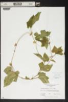 Cayaponia boykinii image