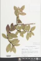 Image of Euphorbia remyi