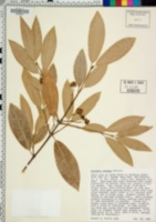 Image of Euonymus lucidus