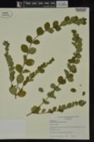 Symphoricarpos orbiculatus image