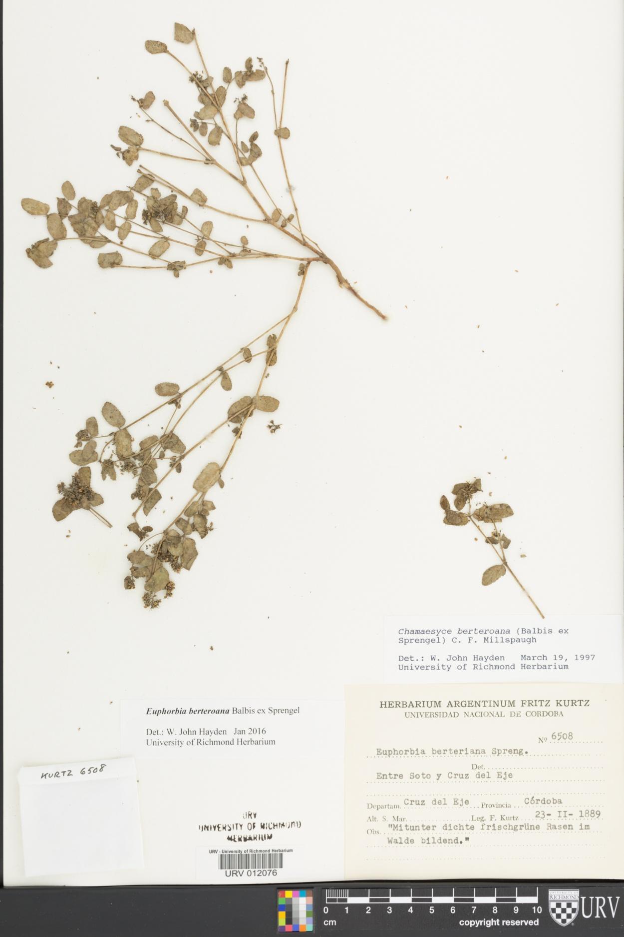Chamaesyce berteriana image