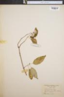 Image of Hydrangea cinerea