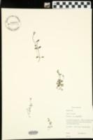 Hedyotis caerulea image
