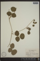 Rhynchosia difformis image