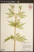 Leonurus sibiricus image