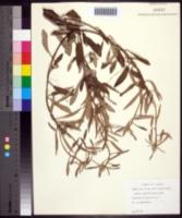 Image of Croton argyranthemus