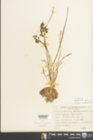 Muscari neglectum image