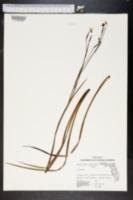 Image of Sisyrinchium solstitiale